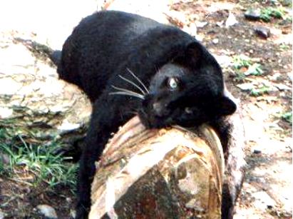 Pantera negra | Wikifaunia, tu enciclopedia de animales