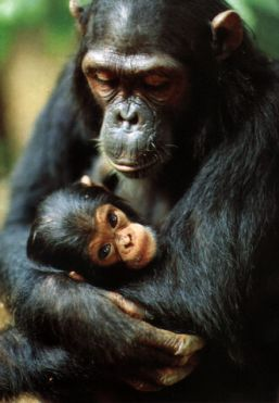 Chimpance37.jpg Chimpancé Chimpancé Chimpance37