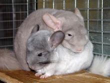 Chinchilla2.jpg Chinchilla Chinchilla Chinchilla2