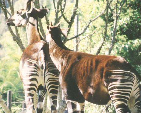 Okapi2.jpg  Okapi Okapi2