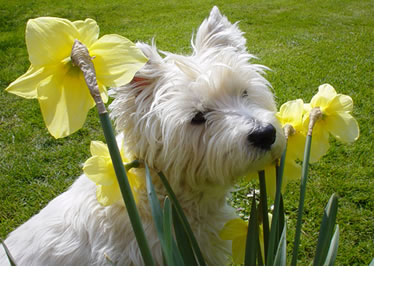Westhighland2.jpg West Highland White Terriers West Highland White Terriers Westhighland2