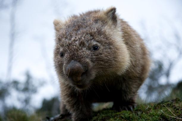 Wombat43.jpg Wombat Wombat Wombat43