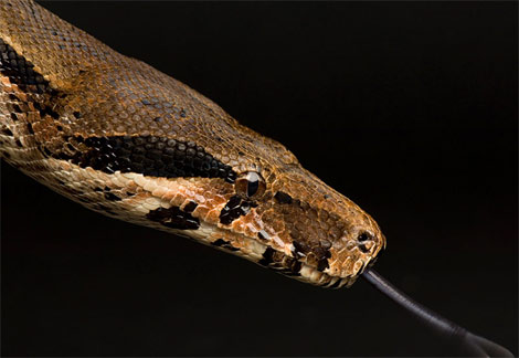Boaconstrictor.jpg Serpiente Serpiente Boaconstrictor
