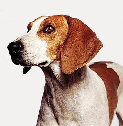 Foxhound.jpg Foxhound Americano Foxhound Americano Foxhound