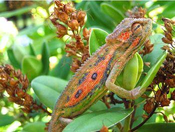 Camaleon2.jpg  Camaleón Camaleon2