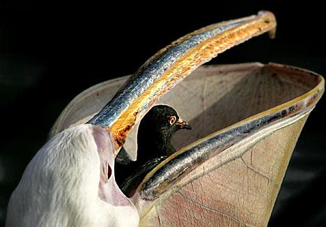 Pelican.jpg Pelícano Pelícano Pelican