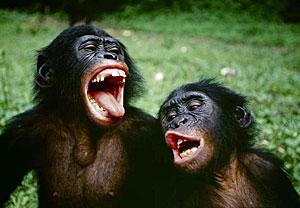 Bonobo2.jpg  Bonobo Bonobo2