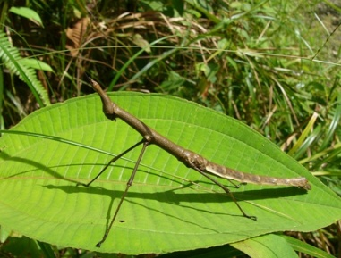 Insecto palo45.JPG animales y mascotas