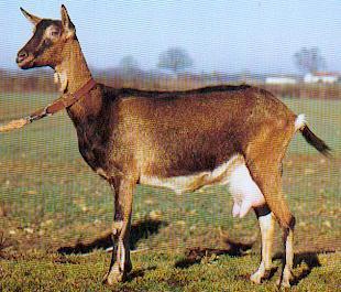Cabraalpina.jpg Cabra Cabra Cabraalpina