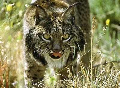 Lince11.jpg Lince Lince Lince11
