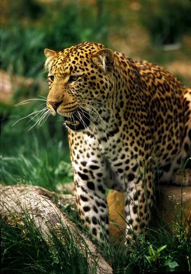 Jaguar4.jpg Jaguar  Jaguar  Jaguar4