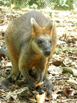 Walabi.jpg Wallaby Wallaby Walabi