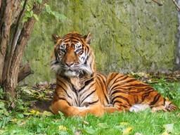 Tigresumatra.jpg  Tigre Tigresumatra