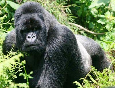 http://wikifaunia.com/images/5/5f/Gorila-montana.jpg