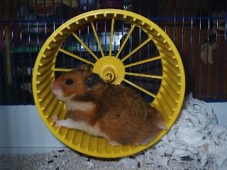 Hamster2.jpg Hámster Hámster Hamster2