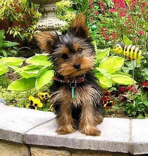 Shire.jpg Yorkshire terrier Yorkshire terrier Shire