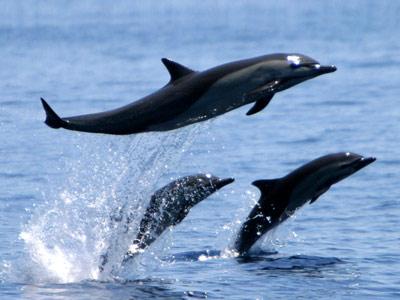 Delfin09.jpg  Delfín Delfin09