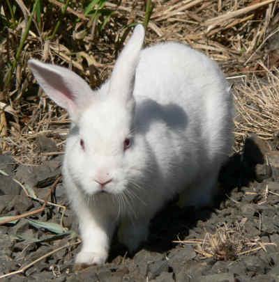 Conejo-1-.jpg Conejo común Conejo común Conejo 1