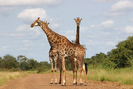 Krugerfotos.jpg Parque Nacional Kruger Park Parque Nacional Kruger Park Krugerfotos
