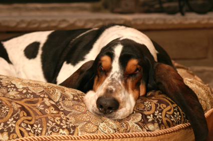 Bassethound3.jpg Basset hound Basset hound Bassethound3