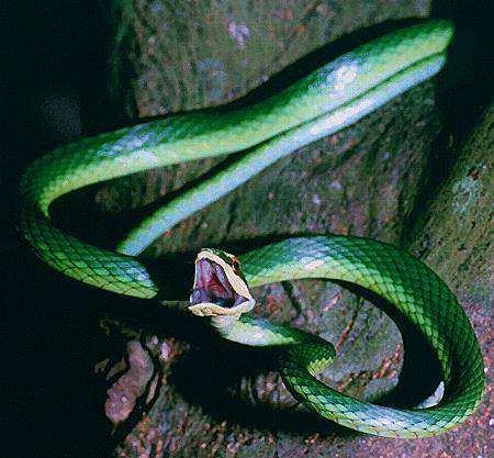 Culebra.jpg Serpiente Serpiente Culebra