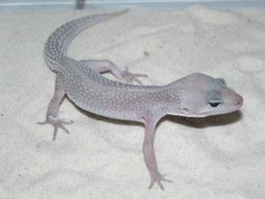 Geckoventisca.jpg Geckos Leopardo Geckos Leopardo Geckoventisca