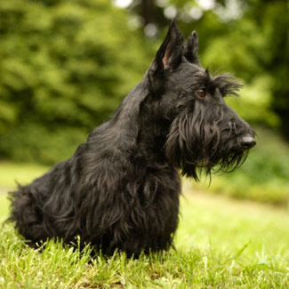 Scottishterrier.jpg Terrier Escocés Terrier Escocés Scottishterrier