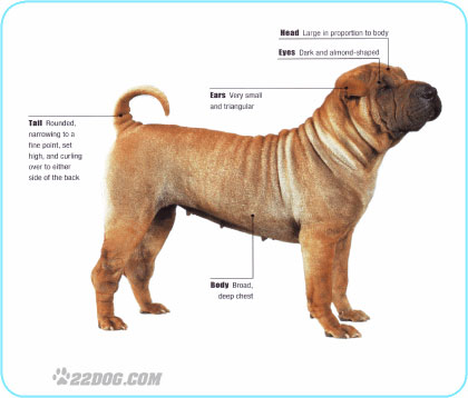 SharPeicaract.jpg Shar Pei Shar Pei SharPeicaract