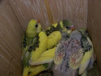 Criaperiquitos2.jpg Cría del periquito Cría del periquito Criaperiquitos2