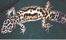 Geckoselva.jpg Geckos Leopardo Geckos Leopardo Geckoselva