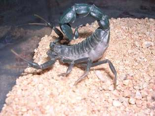 Escorpion2.jpg Escorpión Escorpión Escorpion2