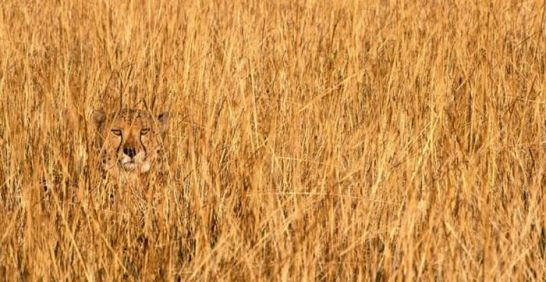 Tigrecamuflado.jpg Camuflaje animal Camuflaje animal Tigrecamuflado