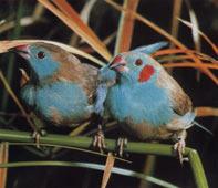 Azulito.jpg  Azulito de senegal Azulito