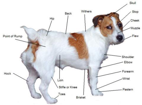 Jackanat.jpg Jack Russell Terrier Jack Russell Terrier Jackanat