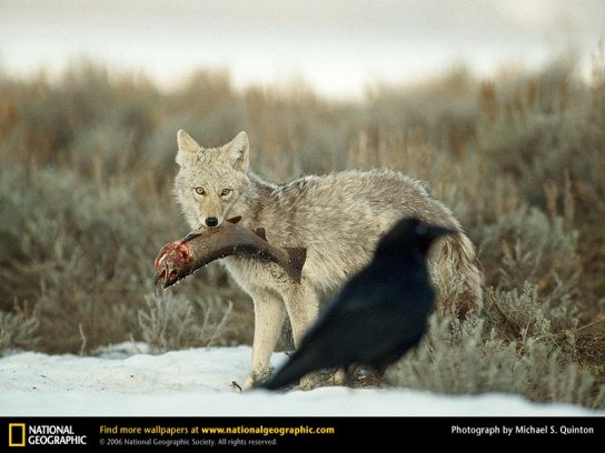 Coyotenat.jpg Coyote Coyote Coyotenat