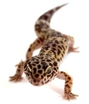 Geckoleopardo2.jpg Geckos Leopardo Geckos Leopardo Geckoleopardo2