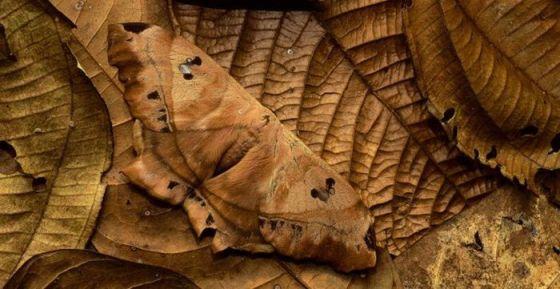 Mariposacamuflada.jpg Camuflaje animal Camuflaje animal Mariposacamuflada