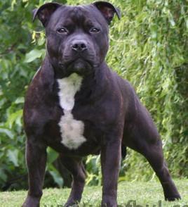 Staffordshire2.jpg Staffordshire Bull Terrier Staffordshire Bull Terrier Staffordshire2