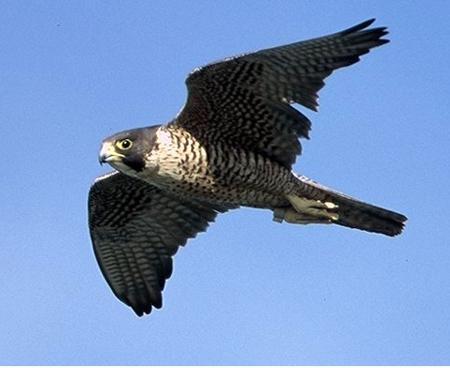 Resultado de imagen para halcon peregrino