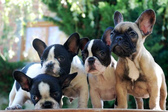 Bulldogfrancs.jpg Bulldog francés Bulldog francés Bulldogfrancs