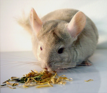 Chinchilla5.jpg Chinchilla Chinchilla Chinchilla5