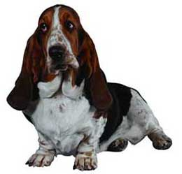Bassethound2.jpg Basset hound Basset hound Bassethound2