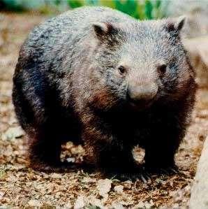 Wambat2.jpeg Wombat Wombat Wambat2
