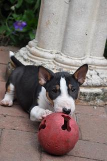 Minipuppy.jpg Bull terrier miniatura Bull terrier miniatura Minipuppy