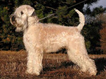 Wheatenterrier3.jpg Wheaten Terrier Wheaten Terrier Wheatenterrier3