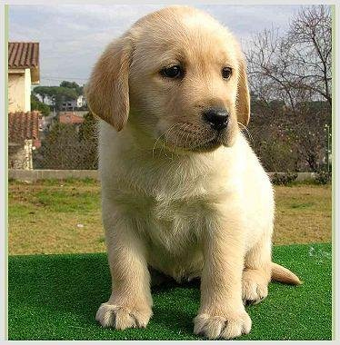 Labrador1.jpg Labrador Labrador Labrador1