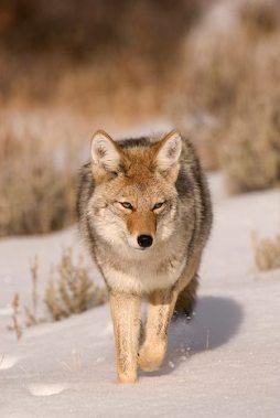 Coyote2.jpg animales y mascotas