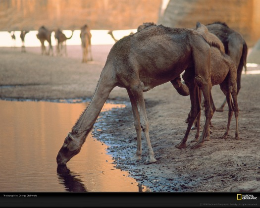 Camel2.jpg  Camello Camel2