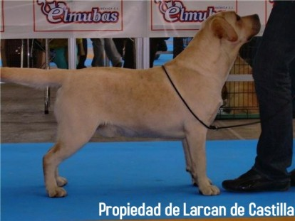 Larcan23.jpg Labrador Labrador Larcan23