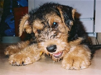 Airedale3.jpg Terrier de Airedale Terrier de Airedale Airedale3